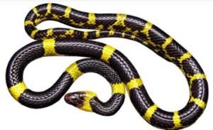 Schlange gelb-schwarz